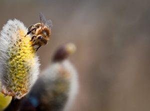 Biene mit Pollenhöschen beim Pollensammeln auf einer Blüte